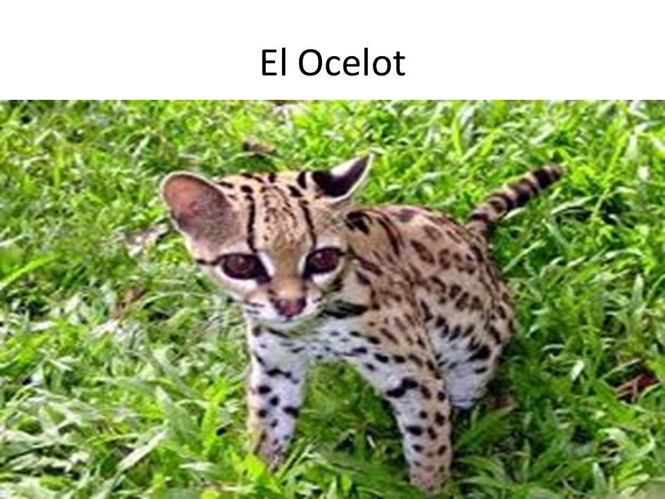 El Ocelot