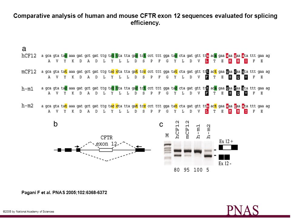 Comparative analysis of human and mouse CFTR exon 12 sequences evaluated for splicing efficiency. Pagani F et al. PNAS 2005;102:6368-6372 ©2005 by Nat