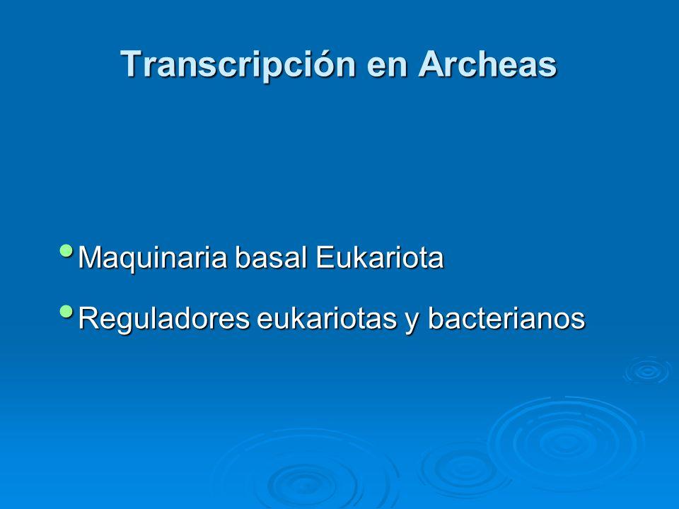 Transcripción en Archeas Maquinaria basal Eukariota Maquinaria basal Eukariota Reguladores eukariotas y bacterianos Reguladores eukariotas y bacterianos