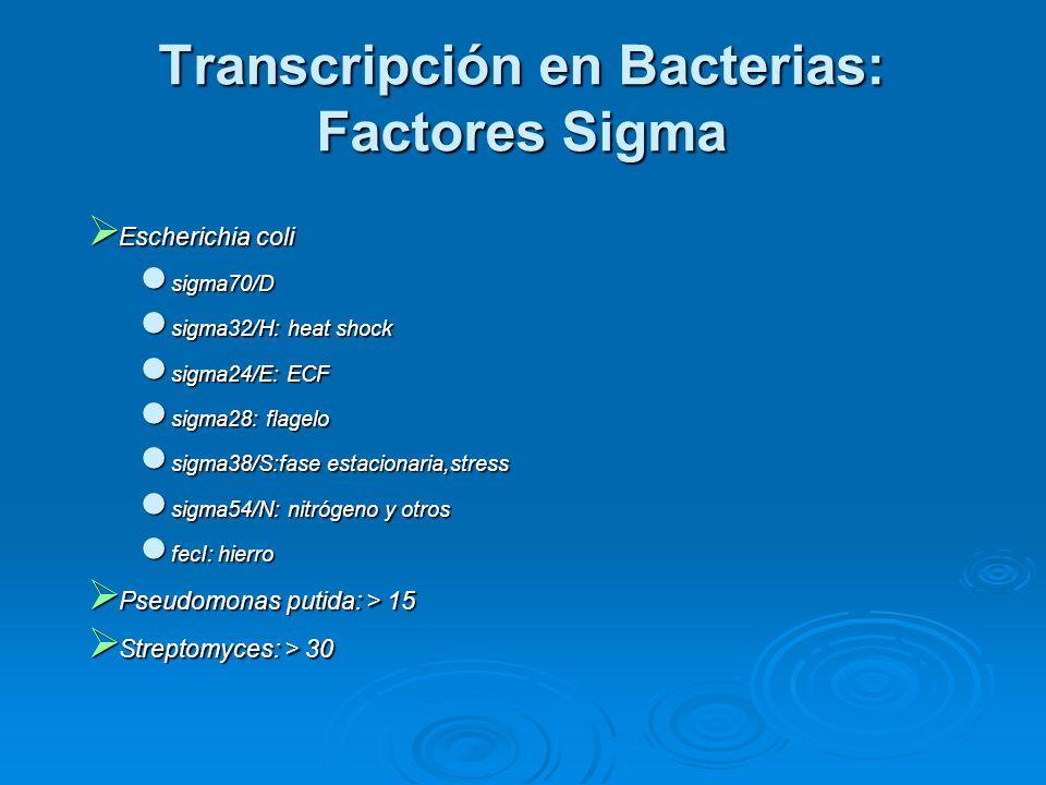Transcripción en Bacterias: Factores Sigma  Escherichia coli sigma70/D sigma70/D sigma32/H: heat shock sigma32/H: heat shock sigma24/E: ECF sigma24/E: ECF sigma28: flagelo sigma28: flagelo sigma38/S:fase estacionaria,stress sigma38/S:fase estacionaria,stress sigma54/N: nitrógeno y otros sigma54/N: nitrógeno y otros fecI: hierro fecI: hierro  Pseudomonas putida: > 15  Streptomyces: > 30