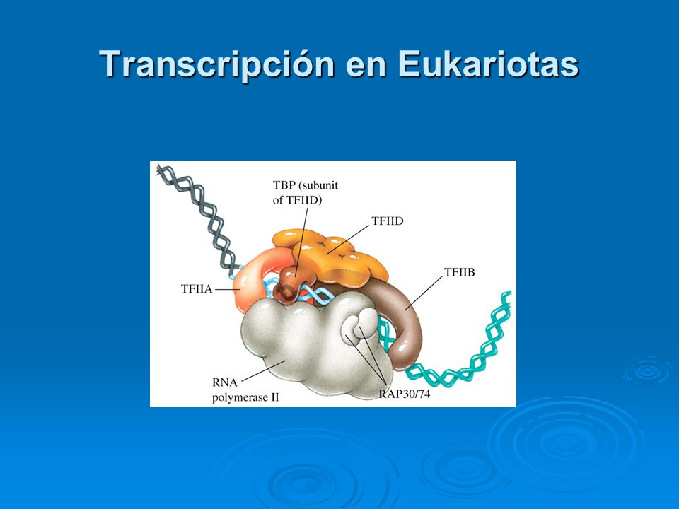 Transcripción en Eukariotas