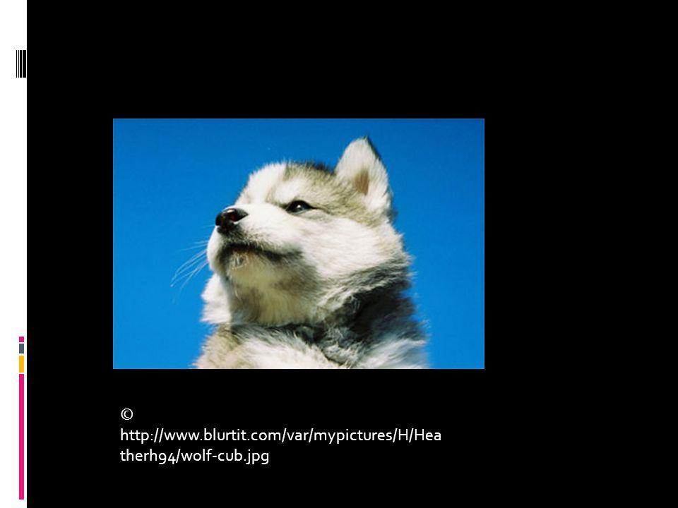 © http://www.blurtit.com/var/mypictures/H/Hea therh94/wolf-cub.jpg