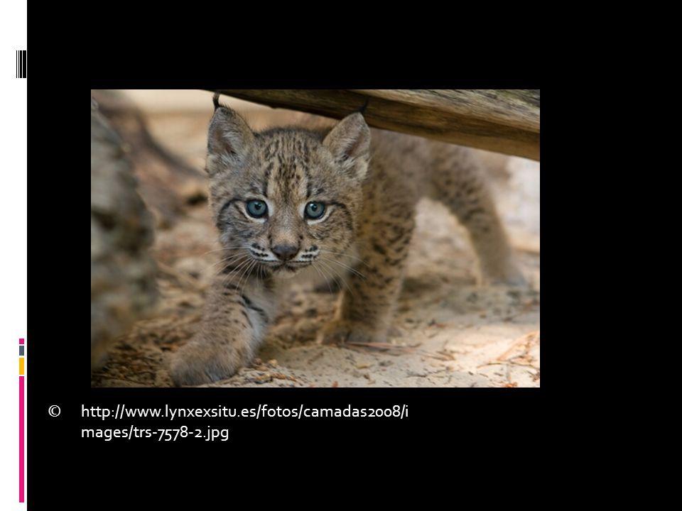 http://www.lynxexsitu.es/fotos/camadas2008/i mages/trs-7578-2.jpg ©