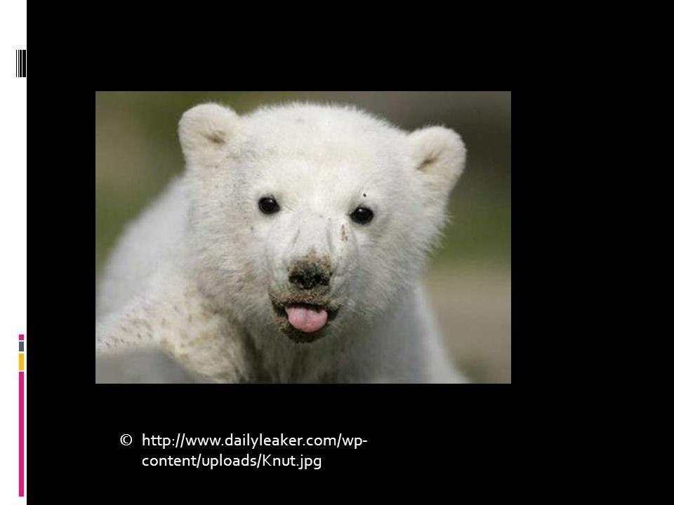 http://www.dailyleaker.com/wp- content/uploads/Knut.jpg ©