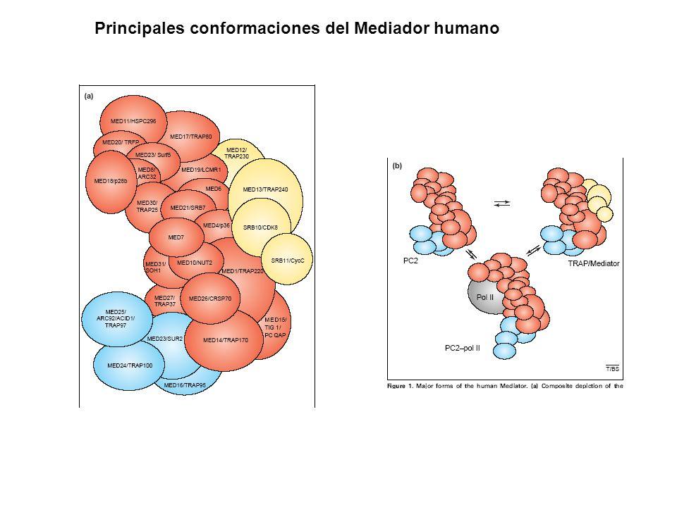 Principales conformaciones del Mediador humano