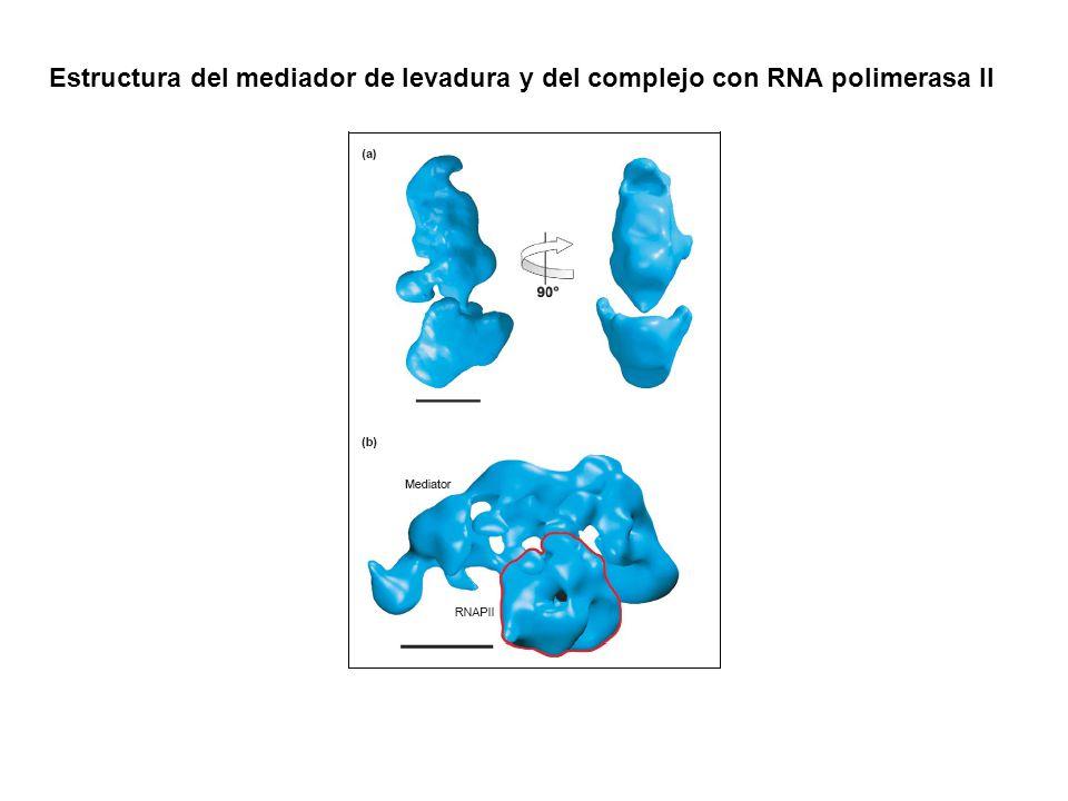Estructura del mediador de levadura y del complejo con RNA polimerasa II