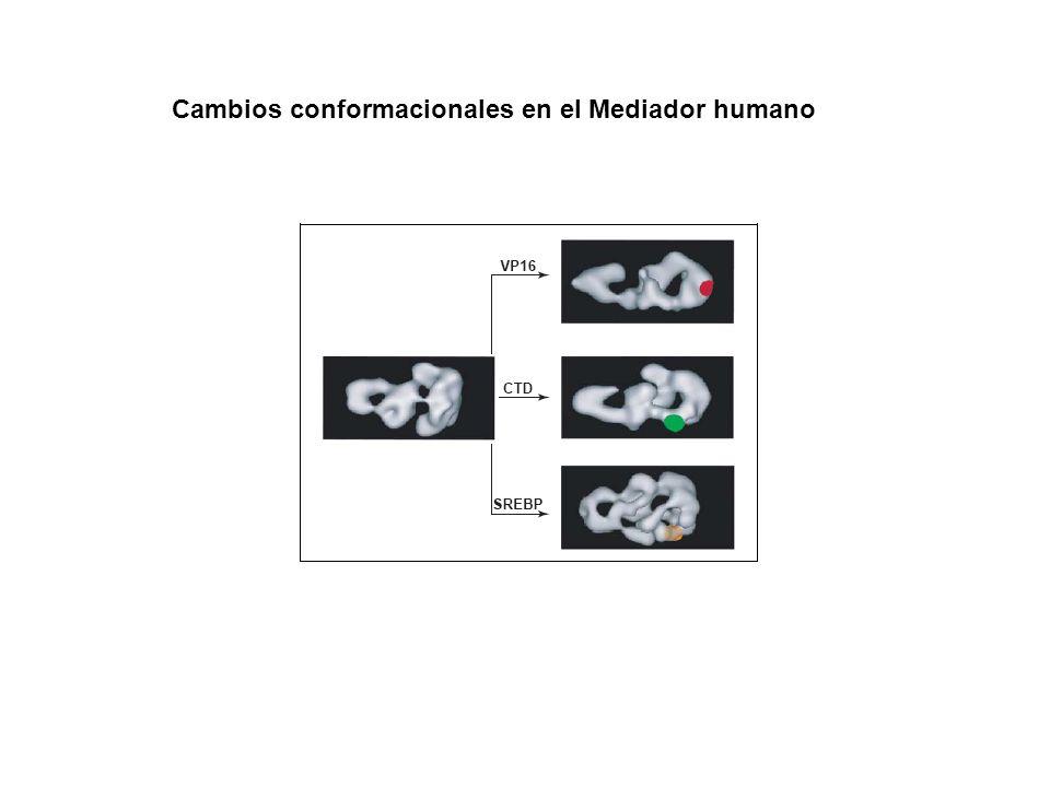 Cambios conformacionales en el Mediador humano