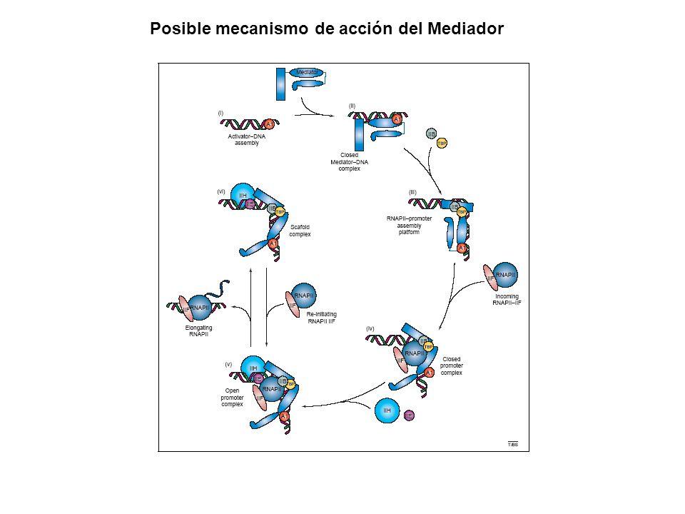 Posible mecanismo de acción del Mediador