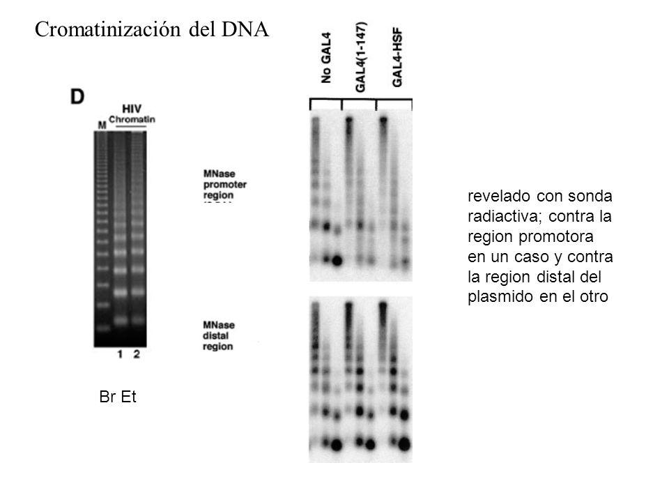 Cromatinización del DNA Br Et revelado con sonda radiactiva; contra la region promotora en un caso y contra la region distal del plasmido en el otro