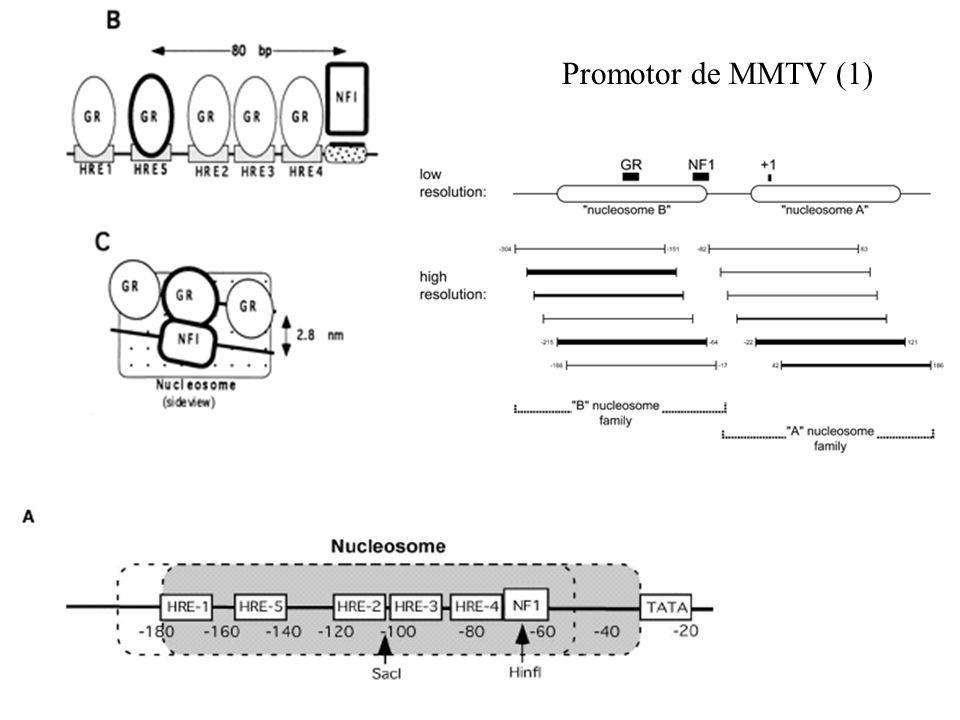 Promotor de MMTV (1)
