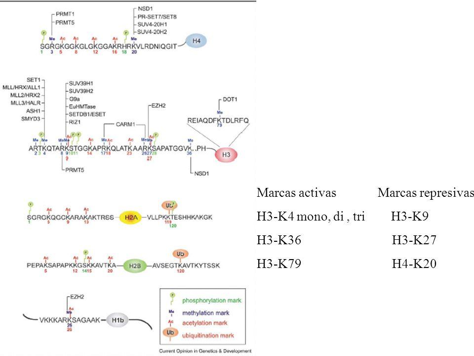 Marcas activas Marcas represivas H3-K4 mono, di, tri H3-K9 H3-K36 H3-K27 H3-K79 H4-K20