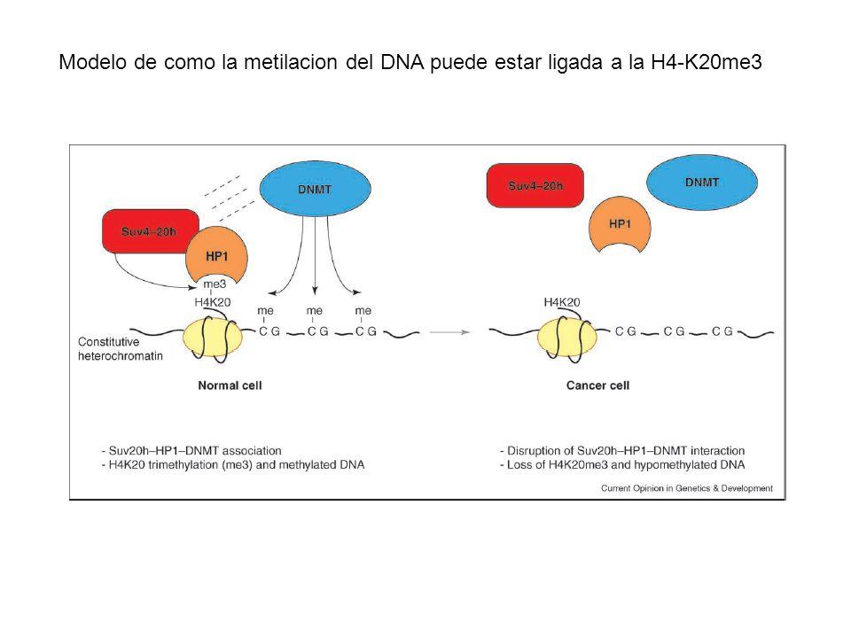 Modelo de como la metilacion del DNA puede estar ligada a la H4-K20me3