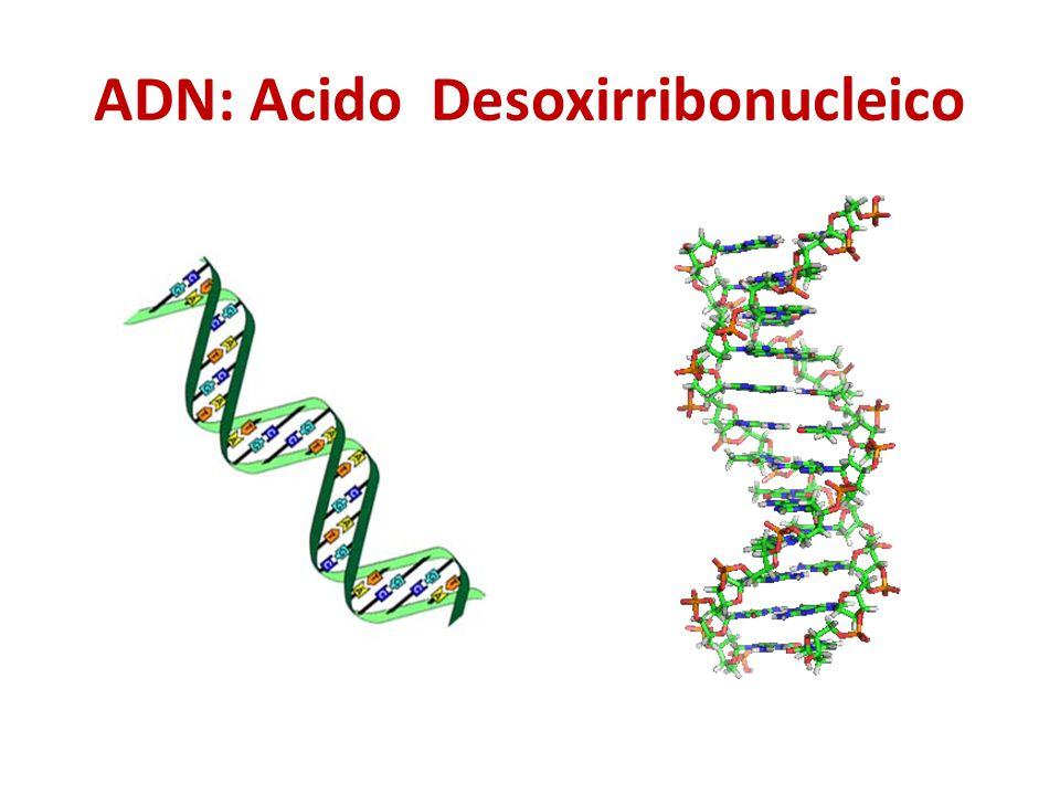 ADN: Acido Desoxirribonucleico