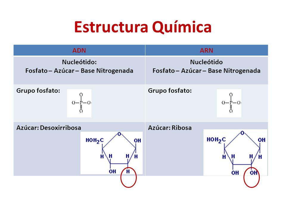 ADNARN Nucleótido: Fosfato – Azúcar – Base Nitrogenada Nucleótido Fosfato – Azúcar – Base Nitrogenada Grupo fosfato: Grupo fosfato: Azúcar: DesoxirribosaAzúcar: Ribosa