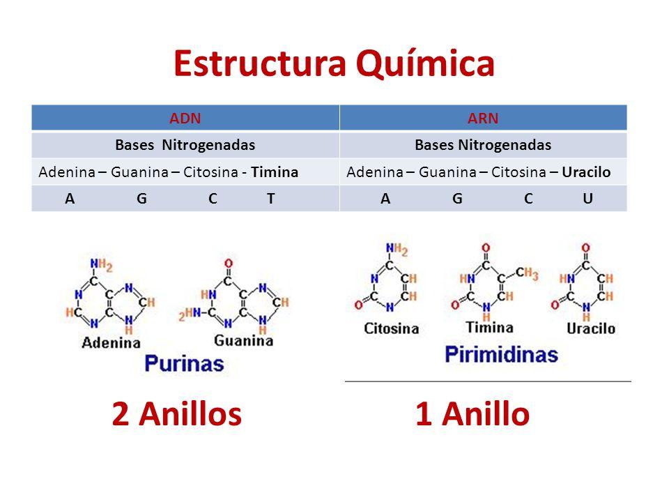 Estructura Química ADNARN Bases Nitrogenadas Adenina – Guanina – Citosina - TiminaAdenina – Guanina – Citosina – Uracilo A G C T A G C U 2 Anillos1 Anillo