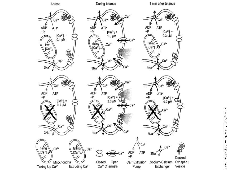 Y Tang & RS Zucker Neuron 18 (1997) 483-491