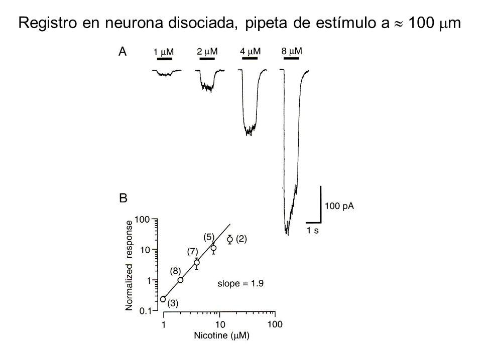 Registro en neurona disociada, pipeta de estímulo a  100  m