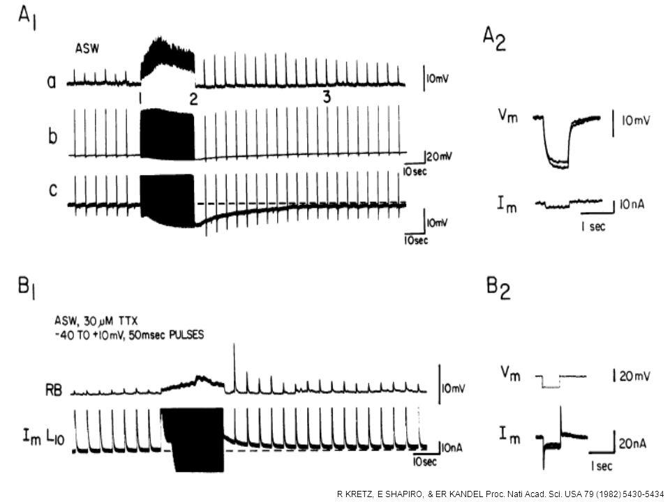 R KRETZ, E SHAPIRO, & ER KANDEL Proc. Nati Acad. Sci. USA 79 (1982) 5430-5434