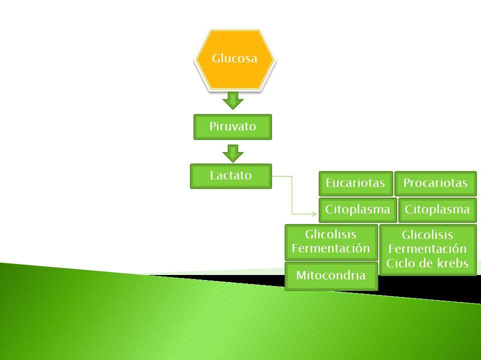 Glucosa Piruvato Lactato EucariotasProcariotas Citoplasma Glicolisis Fermentación Glicolisis Fermentación Ciclo de krebs