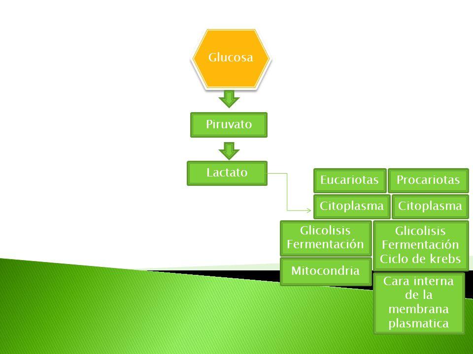 Glucosa Piruvato Lactato EucariotasProcariotas Citoplasma Glicolisis Fermentación Glicolisis Fermentación Ciclo de krebs Mitocondria