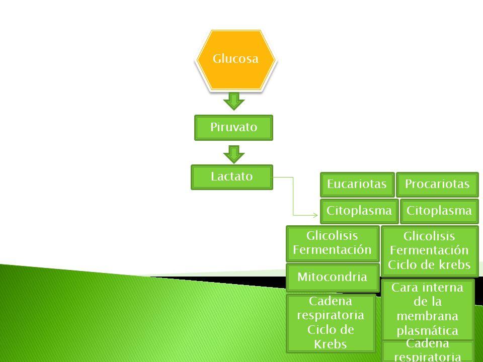 Glucosa Piruvato Lactato EucariotasProcariotas Citoplasma Glicolisis Fermentación Glicolisis Fermentación Ciclo de krebs Mitocondria Cara interna de la membrana plasmática Cadena respiratoria Ciclo de Krebs