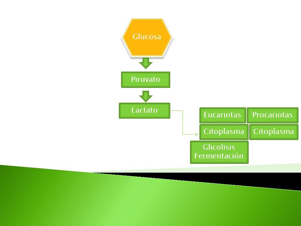 Glucosa Piruvato Lactato EucariotasProcariotas Citoplasma