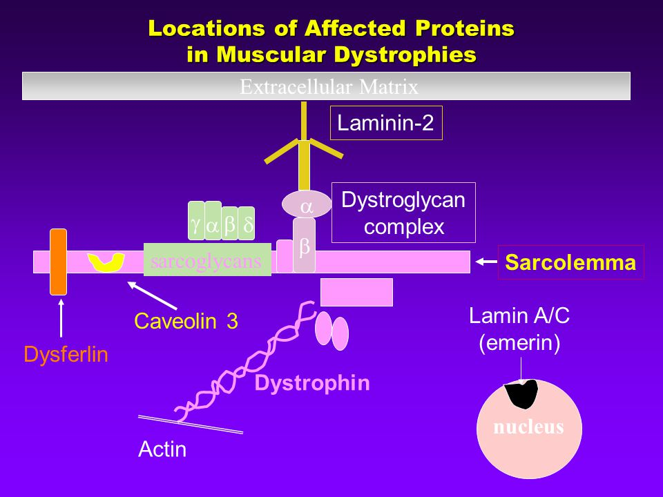 Sarcolemma nucleus Lamin A/C (emerin) sarcoglycans    Dystroglycan complex Laminin-2 Extracellular Matrix Dysferlin Caveolin 3 Actin Dystrophin    Locations of Affected Proteins in Muscular Dystrophies