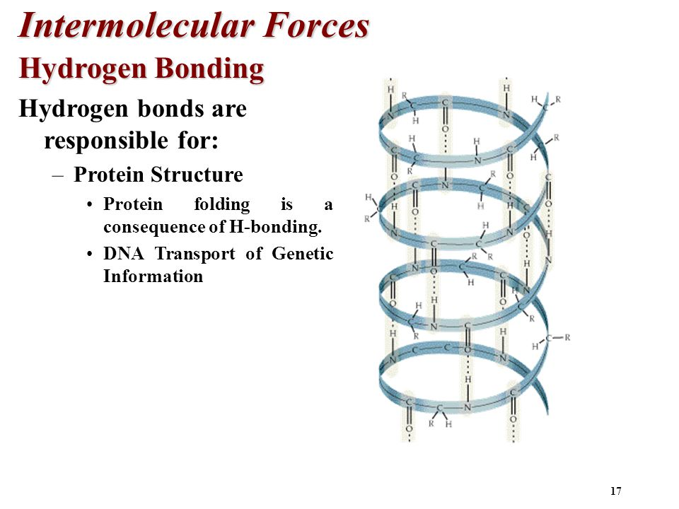 17 Intermolecular Forces Hydrogen Bonding Hydrogen bonds are responsible for: –Protein Structure Protein folding is a consequence of H-bonding.