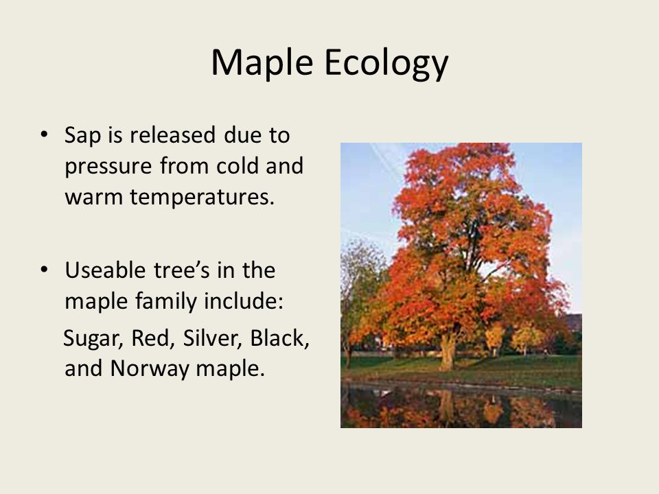 Maple Ecology Sap is released due to pressure from cold and warm temperatures.