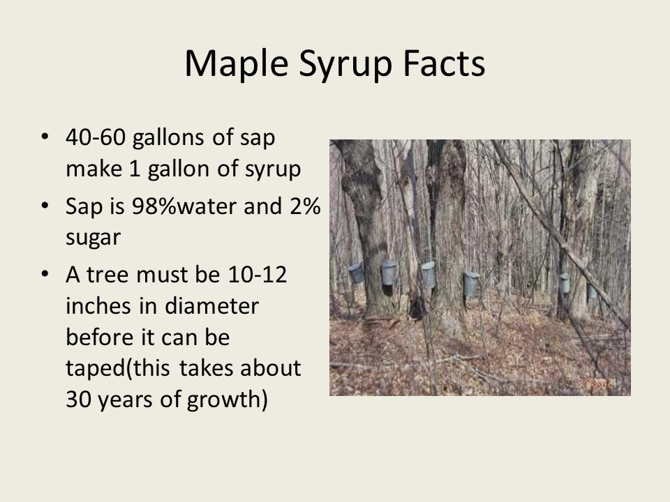 Maple Syrup Facts gallons of sap make 1 gallon of syrup Sap is 98%water and 2% sugar A tree must be inches in diameter before it can be taped(this takes about 30 years of growth)
