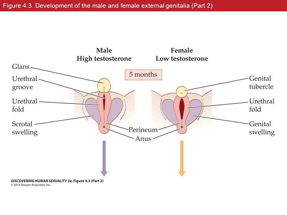 Figure 4.3 Development of the male and female external genitalia (Part 2)
