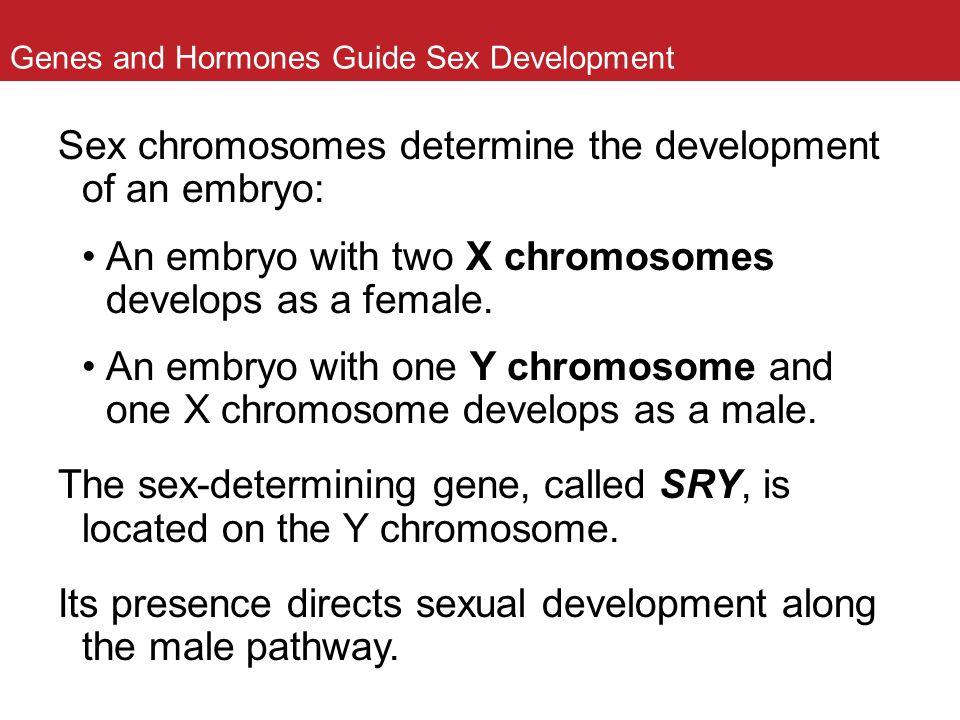 Genes and Hormones Guide Sex Development Sex chromosomes determine the development of an embryo: An embryo with two X chromosomes develops as a female