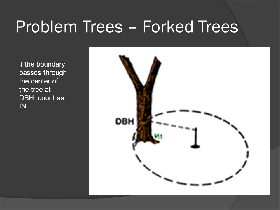 Problem Trees – Forked Trees if the boundary passes through the center of the tree at DBH, count as IN