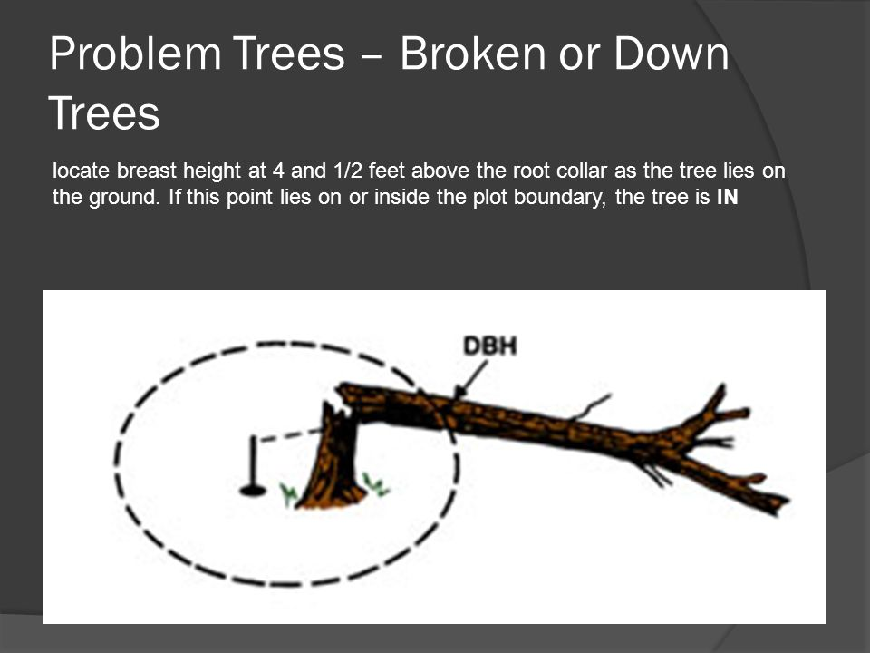 Problem Trees – Broken or Down Trees locate breast height at 4 and 1/2 feet above the root collar as the tree lies on the ground.