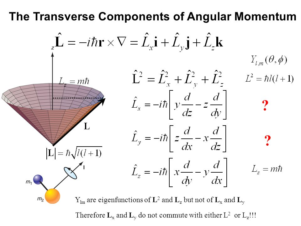 The Transverse Components of Angular Momentum Y lm are eigenfunctions of L 2 and L z but not of L x and L y Therefore L x and L y do not commute with either L 2 or L z !!!