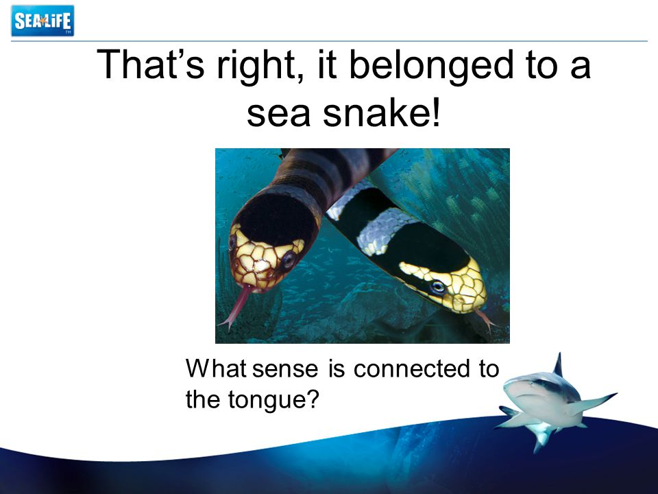 That's right, it belonged to a sea snake! What sense is connected to the tongue