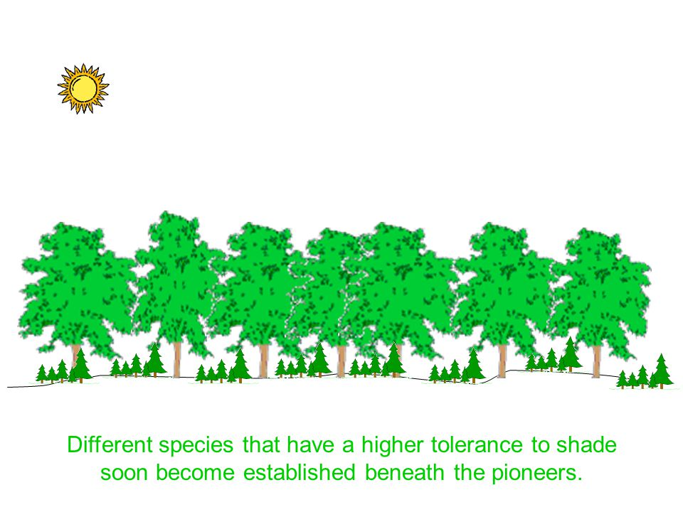 Different species that have a higher tolerance to shade soon become established beneath the pioneers.