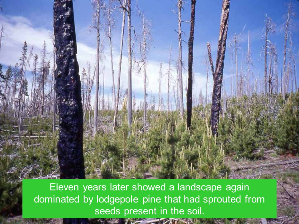 Eleven years later showed a landscape again dominated by lodgepole pine that had sprouted from seeds present in the soil.