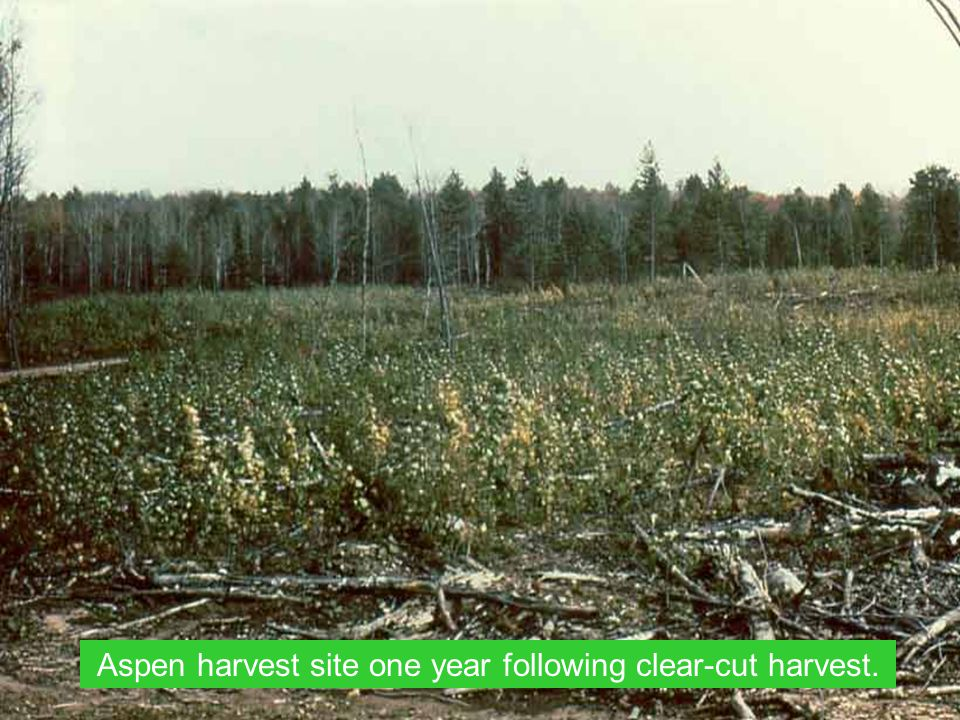 Aspen harvest site one year following clear-cut harvest.