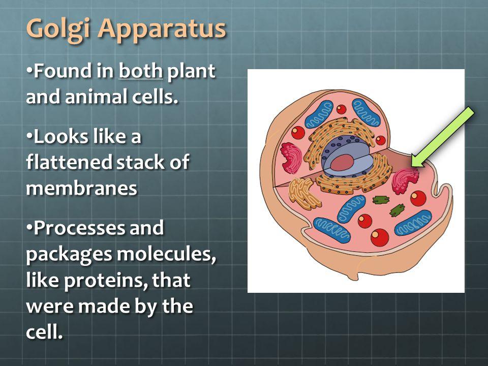 Golgi Apparatus Animal Cell