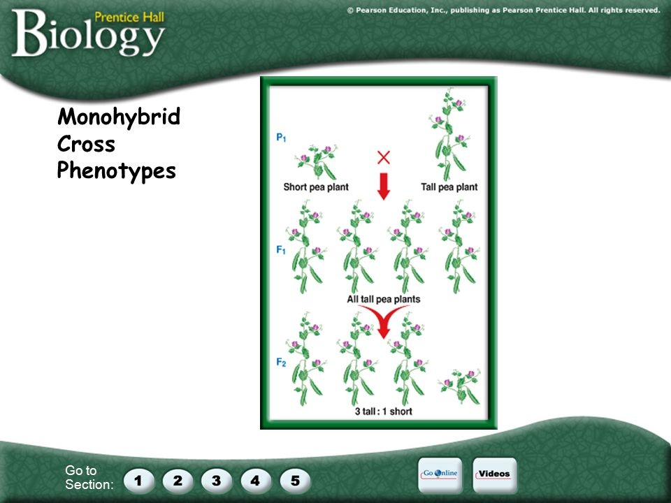 Go to Section: Monohybrid Cross Phenotypes