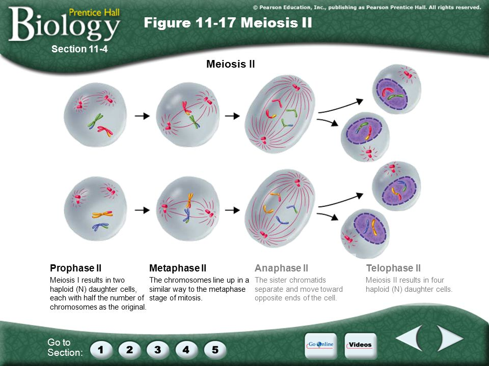 Go to Section: Meiosis II Meiosis I results in two haploid (N) daughter cells, each with half the number of chromosomes as the original.