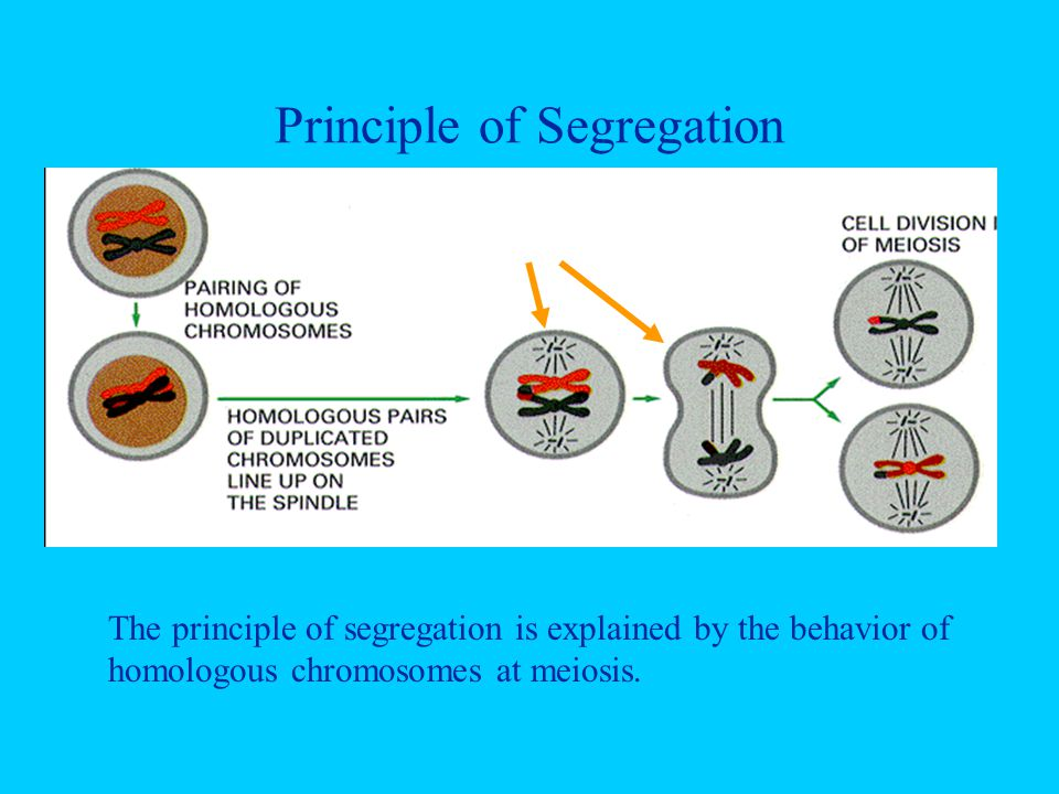 Principle of Segregation Segregation The principle of segregation is explained by the behavior of homologous chromosomes at meiosis.