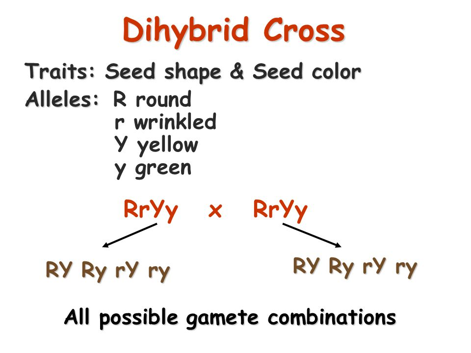 25 Dihybrid Cross A breeding experiment that tracks the inheritance of two traits.