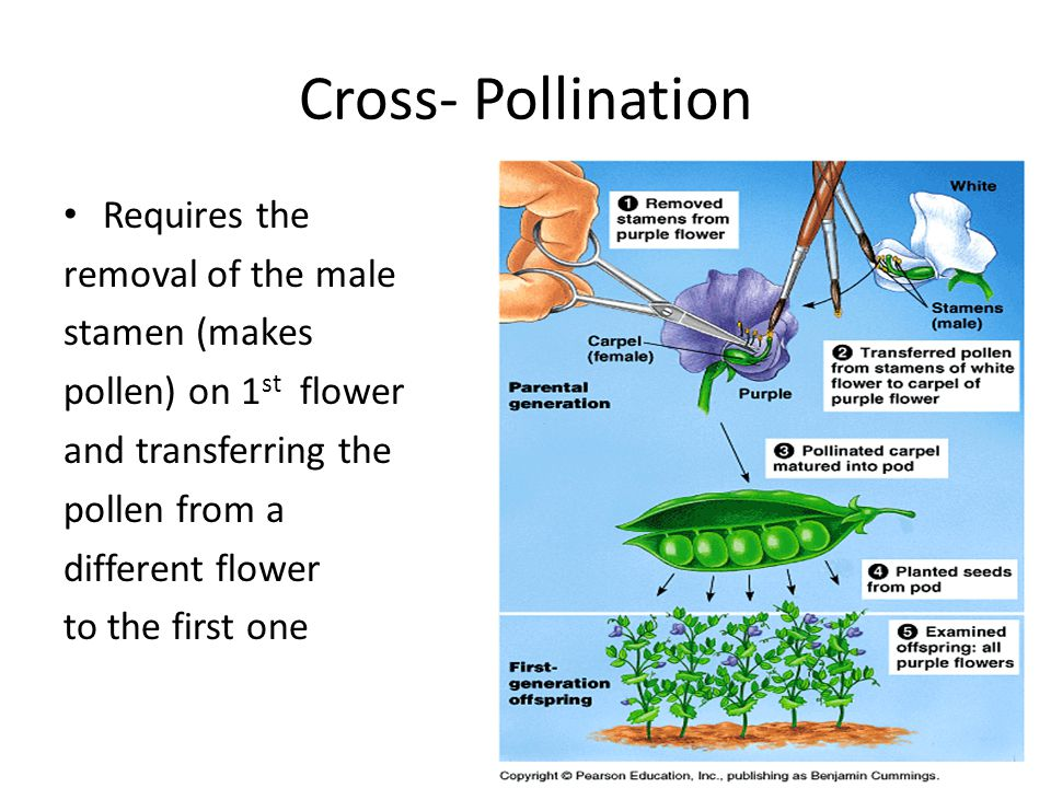 Cross- Pollination Requires the removal of the male stamen (makes pollen) on 1 st flower and transferring the pollen from a different flower to the first one
