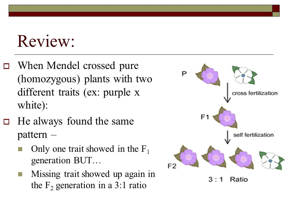 Review:  When Mendel crossed pure (homozygous) plants with two different traits (ex: purple x white):  He always found the same pattern – Only one trait showed in the F 1 generation BUT… Missing trait showed up again in the F 2 generation in a 3:1 ratio