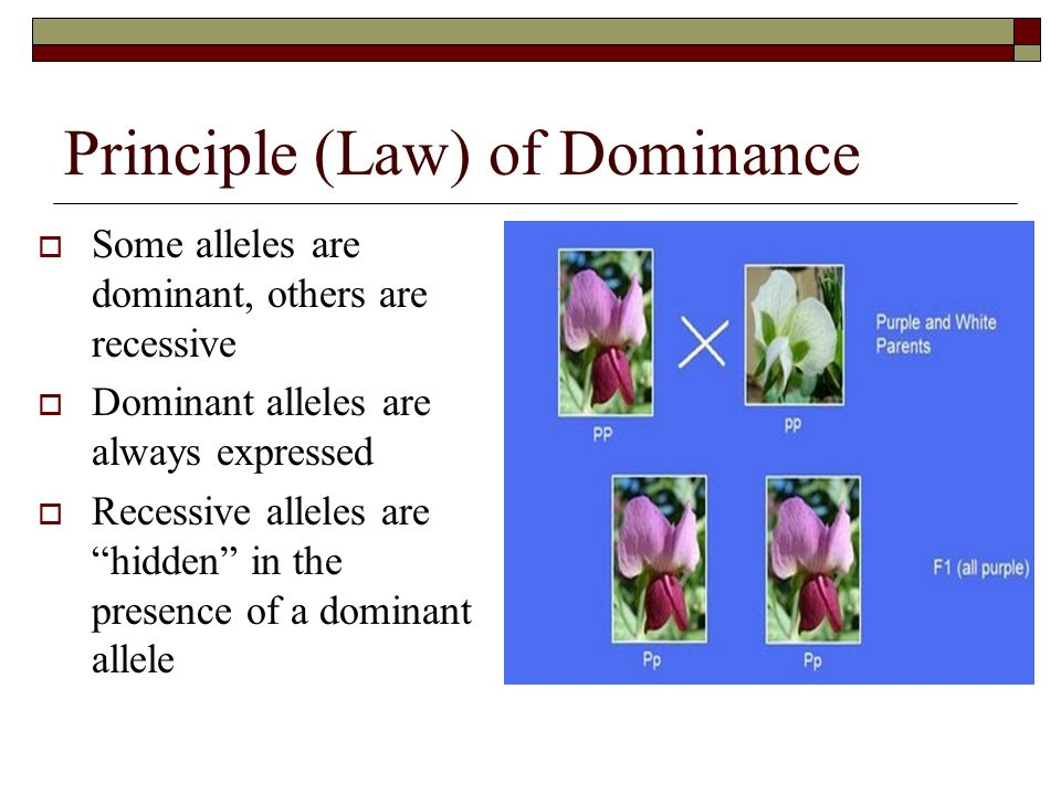 Principle (Law) of Dominance  Some alleles are dominant, others are recessive  Dominant alleles are always expressed  Recessive alleles are hidden in the presence of a dominant allele