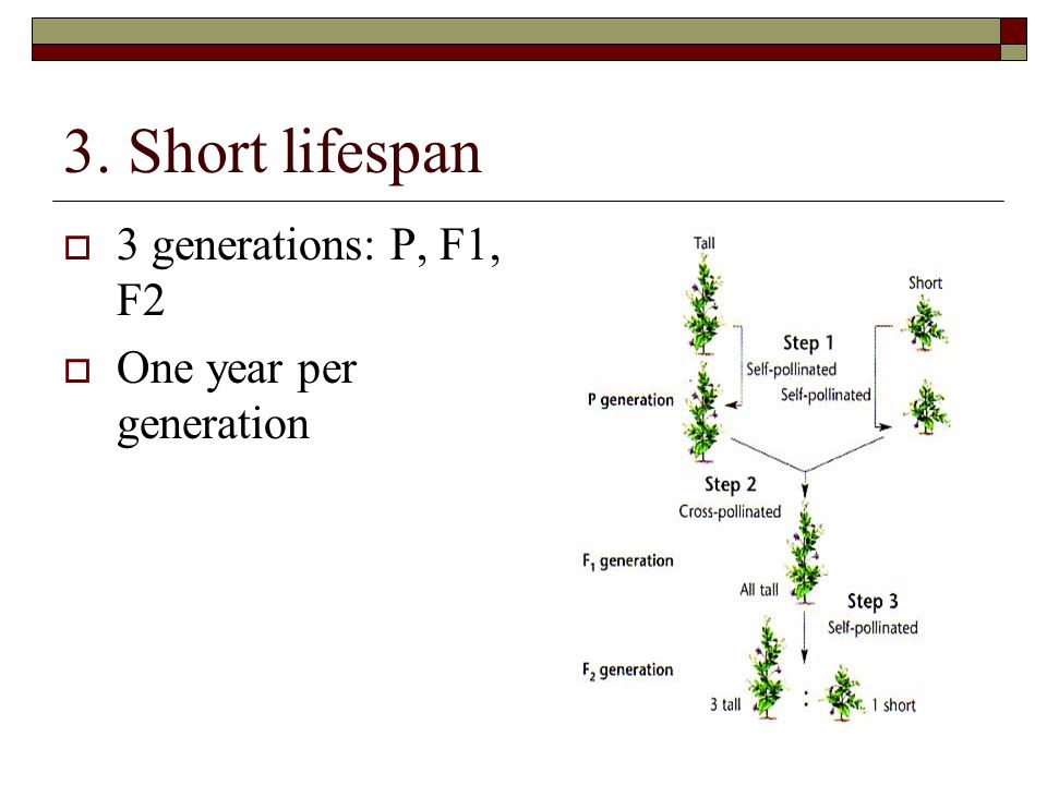3. Short lifespan  3 generations: P, F1, F2  One year per generation
