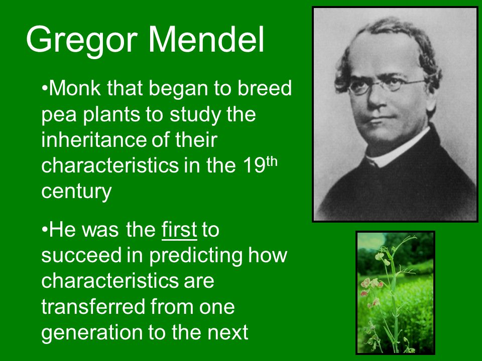 Gregor Mendel Monk that began to breed pea plants to study the inheritance of their characteristics in the 19 th century He was the first to succeed in predicting how characteristics are transferred from one generation to the next