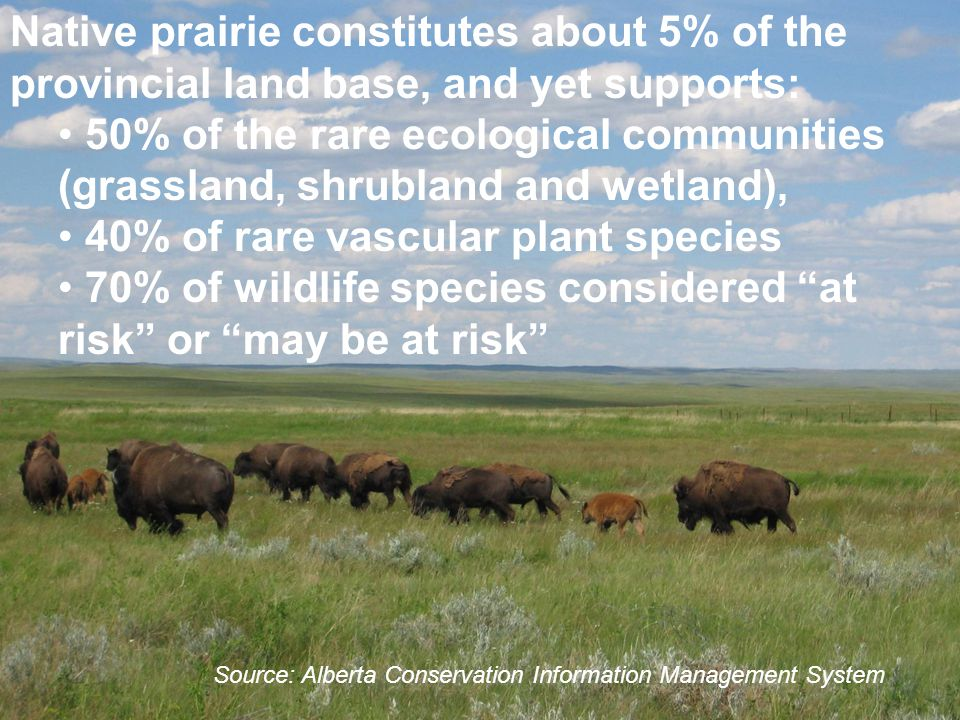 Native prairie constitutes about 5% of the provincial land base, and yet supports: 50% of the rare ecological communities (grassland, shrubland and wetland), 40% of rare vascular plant species 70% of wildlife species considered at risk or may be at risk Source: Alberta Conservation Information Management System